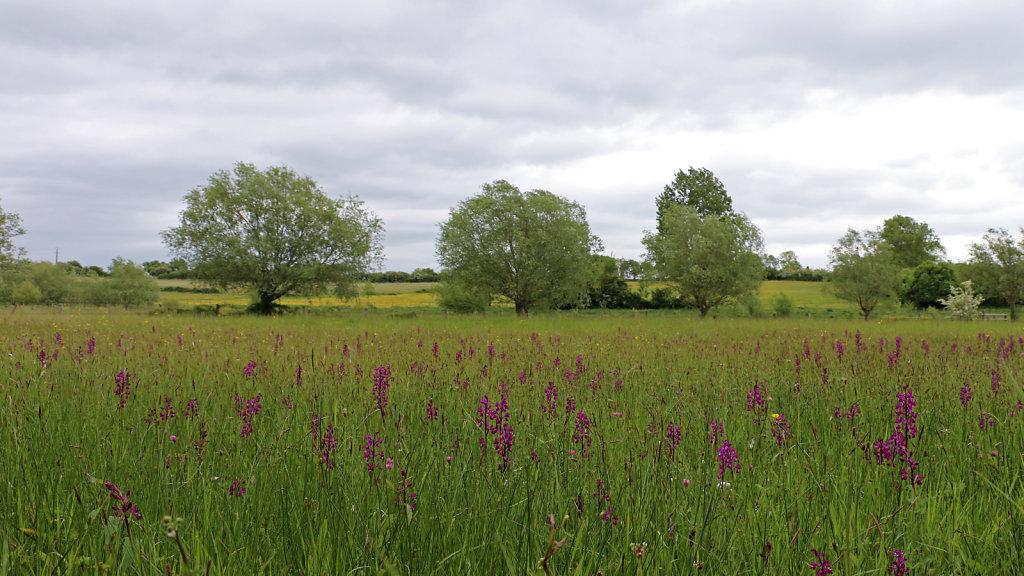 Prairie humide à Orchis à fleurs lâches