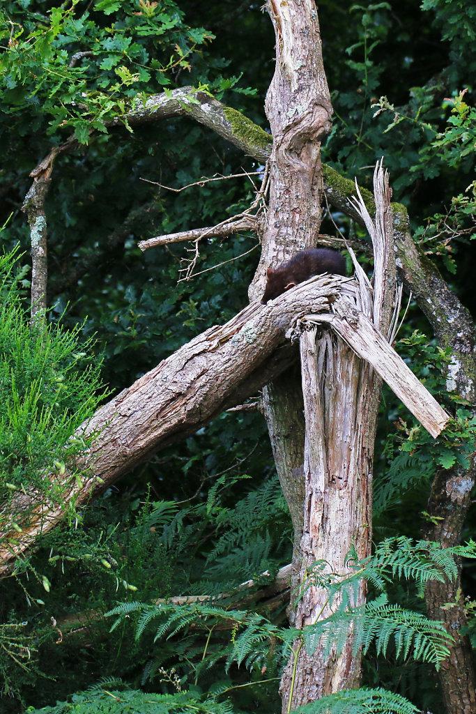 Martre des pins